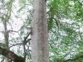 kayın ağacı