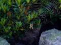 öküz çayırına doğru örümcekler
